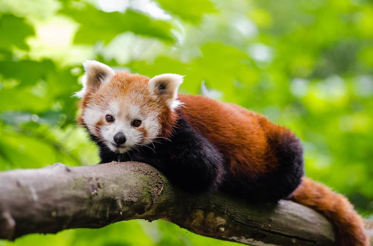 red pandas data science python